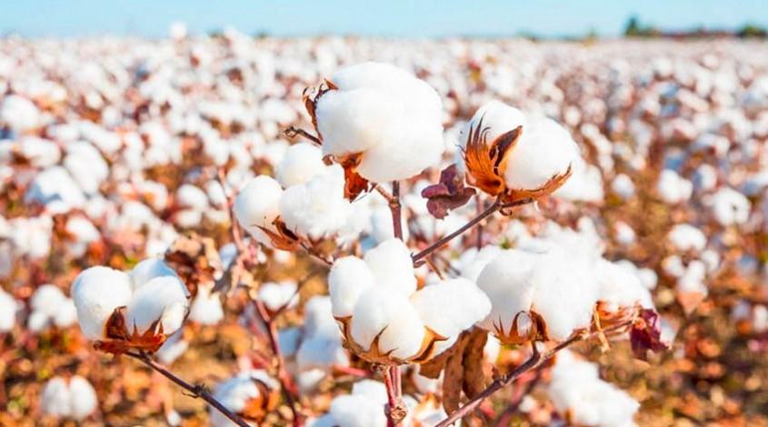 Uzbek cotton — photo 1